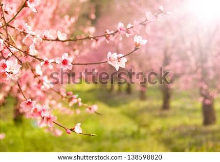 Branches of cherry tree in blossom - stock photo