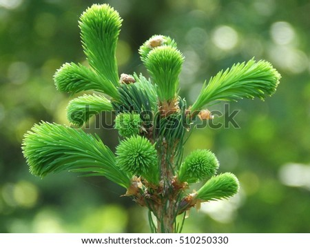 Branches of conifer sprout