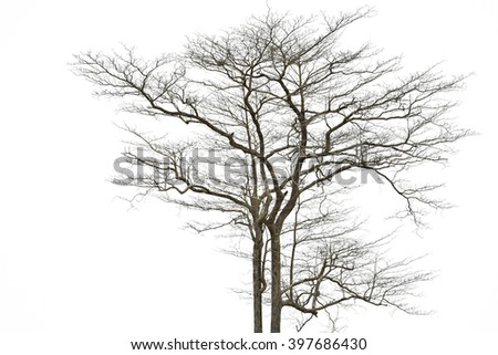 branches of dead trees in tropical forests on on the white background.