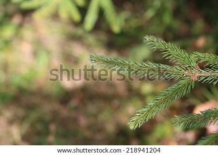 branches of fir tree forest - stock photo