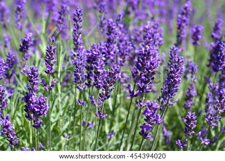 Branches of flowering lavender - stock photo