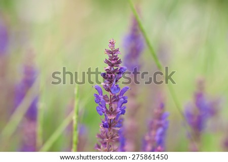 Branches of flowering lavender in close up - stock photo