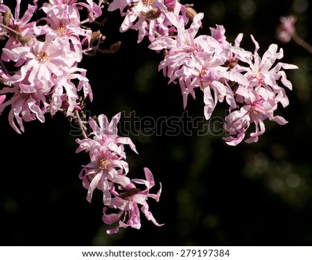 Branches of flowering pink star magnolia tree - stock photo