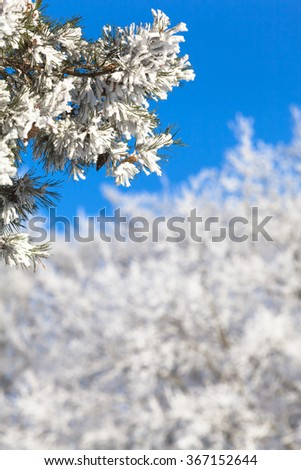 Branches of frozen icy conifer tree with white winter treetops in background in front of the blue cloudless sky and copy space at blurred background/Twigs Full of Snow - stock photo