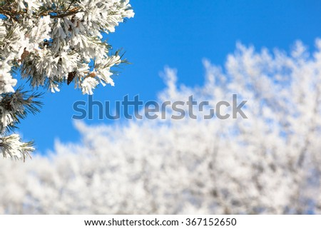 Branches of frozen icy conifer tree with white winter treetops in background in front of the blue cloudless sky and copy space at blurred background/Twigs Full of Snow in Winter Wonderland - stock photo