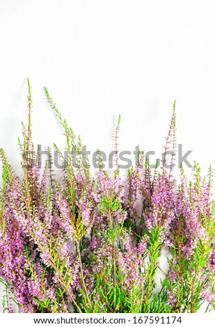 Branches of heather on the white background - stock photo