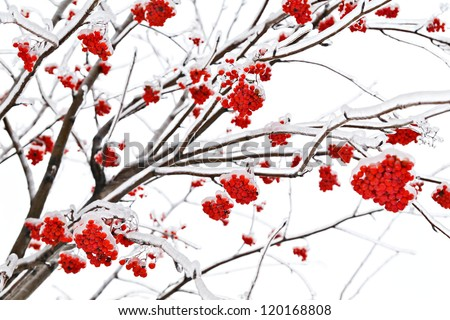 Branches of mountain ash in ice - stock photo