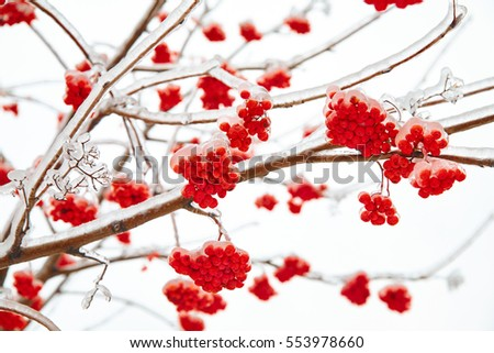 Branches of mountain ash in ice
