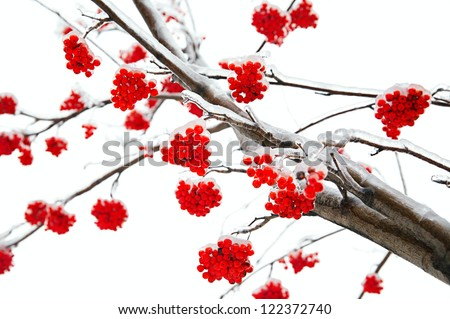 Branches of mountain ash in the ice - stock photo