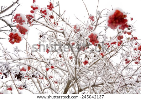 Branches of mountain ash, rowan tree in snow, white background.