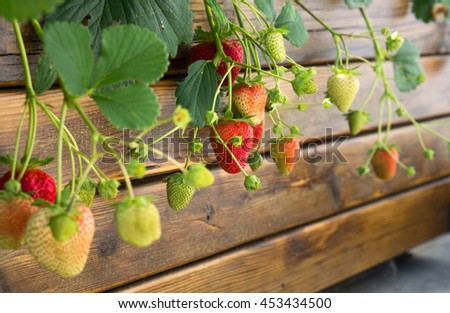 Branches of organic ripe and unripe strawberries out of a brown wooden box, in a vegetable garden - stock photo