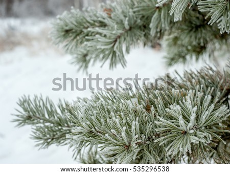 Branches of pine covered with frost. Winter bright background.