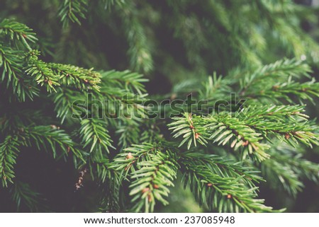 branches of pine tree on blur background - retro, vintage style look - stock photo