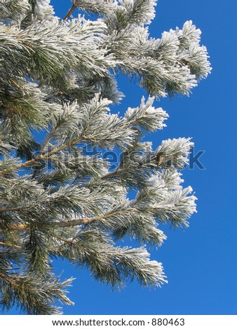 Branches of Pinus silvestris covered with hoar-frost