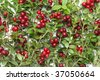 Branches of the cowberry with red fruit - stock photo