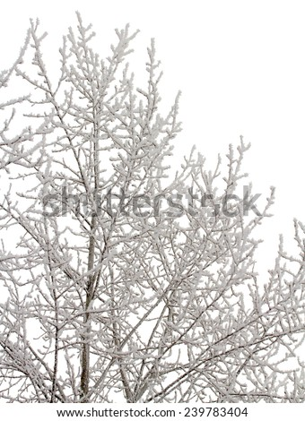 Branches of trees brought by snow isolated on a white background