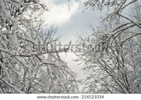 Branches of trees with the snow which has stuck to them.