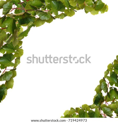 Branches of vine leaves isolated on white background