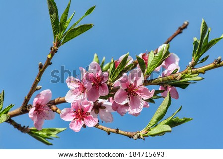 Branches with beautiful pink peach flowers bloom in spring against the blue sky