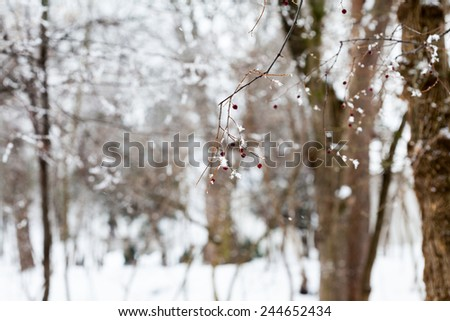 Branches with berries full of hoarfrost on natural background  - stock photo