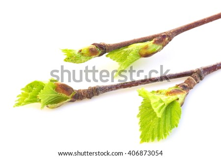 Branches with budding birch leaves on white background - stock photo