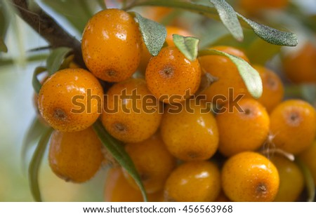Branches with ripe berries of seabuckthorn. - stock photo