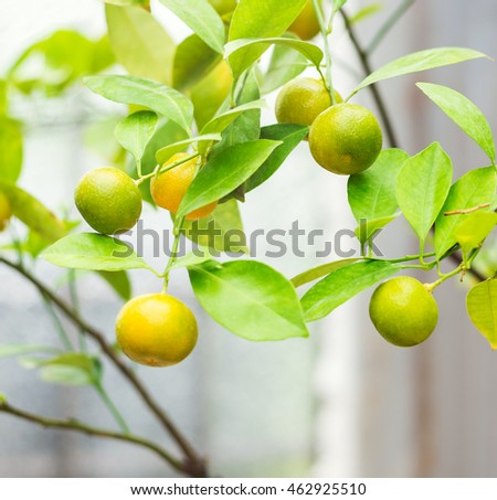 Branches with unripe mandarin fruits. Tangerine tree closeup view