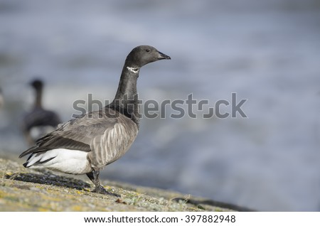 Brant goose at the coast of holland - rotgans - branta bernicla