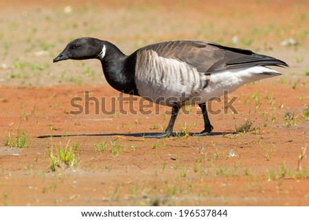 Brant Goose walking on the beach. - stock photo