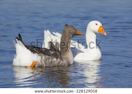 Brants on a river in Germany. - stock photo