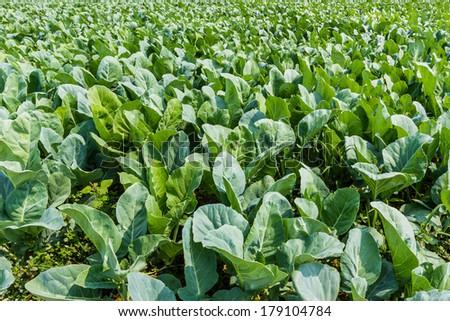 Brassica alboglabra plant field on ground in garden. - stock photo