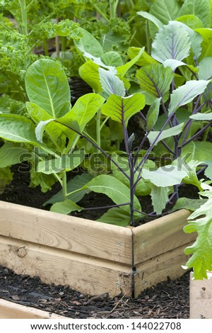 brassica plants growing in a raised bed - stock photo