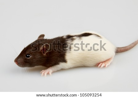 Brattleboro laboratory rat isolated on grey background - stock photo