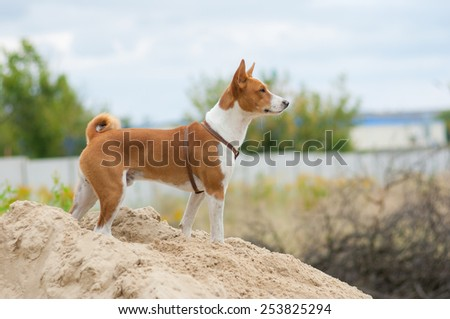 Brave basenji dog looking into the distance - stock photo