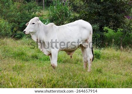Brazilian beef cattle bull in field - nellore, white cow - stock photo