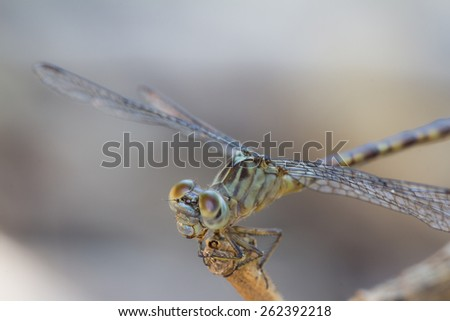 Brazilian Dragonfly This kind dragonfly is very common in all brazilian territory.