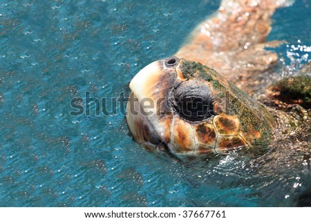 Brazilian Marine Turtle (eretmochelys imbricata) - stock photo