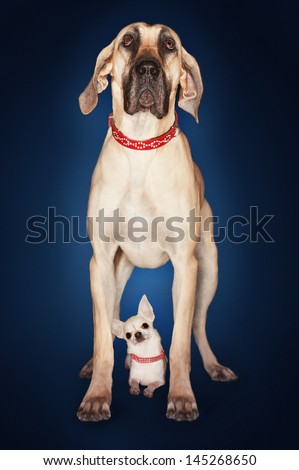 Brazilian mastiff (Fila brasileiro) standing over Chihuahua against blue background - stock photo