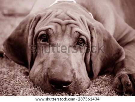 Brazilian Mastiff or Fila Brazilian dog vintage color tone - stock photo