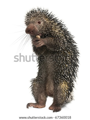 Brazilian Porcupine, Coendou prehensilis, eating peanut in front of white background - stock photo