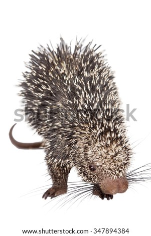 Brazilian Porcupine, Coendou prehensilis, isolated on white background