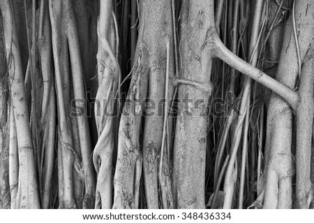 Brazilian strangler fig banyan tree roots in a close-up abstract monochromatic black and white textured background - stock photo
