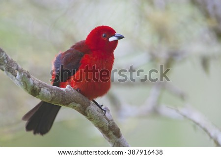 Brazilian tanager (Ramphocelus bresilius) male sitting on a branch in garden with clean background, Itanhaem, Brazil