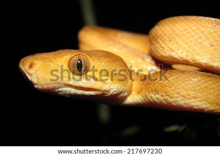 Brazilian tree boa snake - stock photo