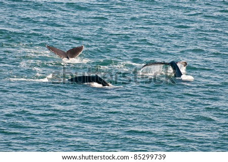 Breaching humpback whales showing tails. Taken in Alaska. - stock photo