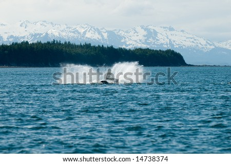 Breaching whales in Alaska.  Near Auk Bay, Juneau.  Seen in the background are snow capped Alaskan mountain range.  Sequence 7 of 9.