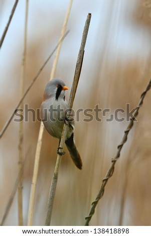 Breaded reedling, male, on a reed  - stock photo