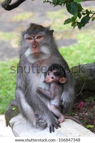 breastfeeding, young monkey sucking nipples mom, Indonesia, island Bali, june 2012 - stock photo