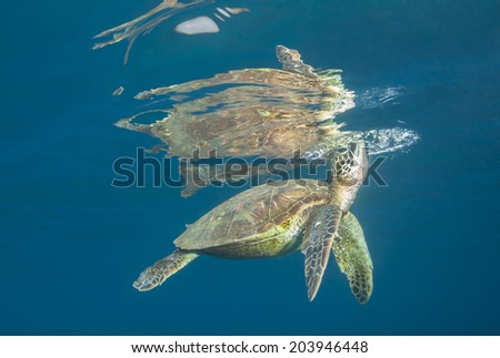 Breath of Life: A green sea turtle pokes its head through the calm surface to breath - stock photo