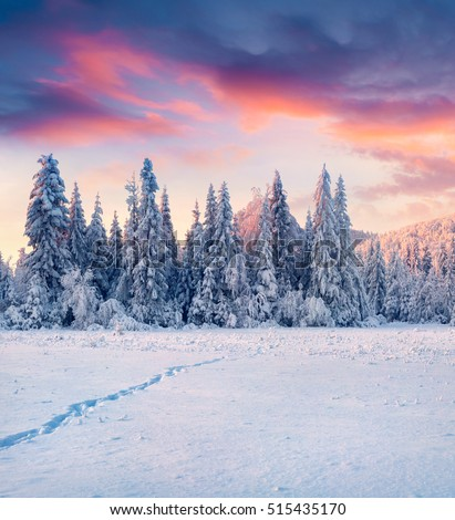 Breathtaking winter sunrise in Carpathian mountains with snow covered fir trees. Colorful outdoor scene, Happy New Year celebration concept. Artistic style post processed photo.